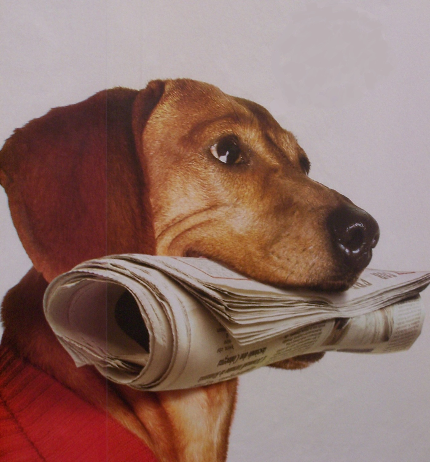 Picture of a dog holding a newspaper in its mouth